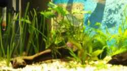 Pflanzen im Aquarium Gesellschaftsbecken