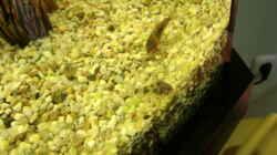 Besatz im Aquarium Grüne Oase existiert nur noch als Beispiel