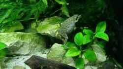 Besatz im Aquarium Becken mit Aphyosemion australe