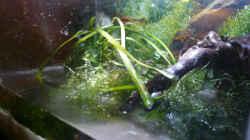 Aquarium Krebse Aufzucht II