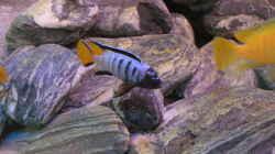 Dekoration im Aquarium 672L Mbuna Becken - nur noch als Beispiel -
