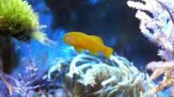 Gobiodon okinawae - Gelbe Korallengrundel