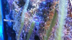 Corynactis sp. 01 - Korallenanemone