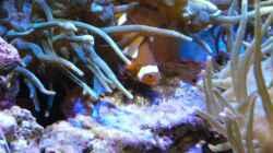 Gelege von Amphiprion ocellaris ca. 1 Woche alt