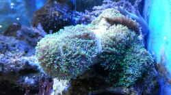 Rhodactis sp. 07-Scheibenanemone