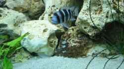Frontosa Weibchen mit Jungfische im Maul