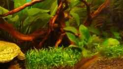 Svannenwurzel mit Gras auf Pad