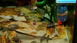 Harpagochromis sp. `orange Rock Hunter`