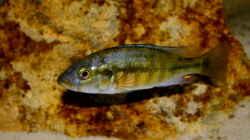 Harpagochromis Maennchen 17.03.10