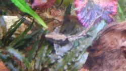 Besatz im Aquarium Juwel Aquarium