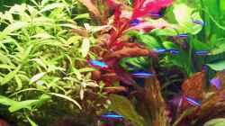 Pflanzen im Aquarium Wohnzimmeraquarium Süsswasser