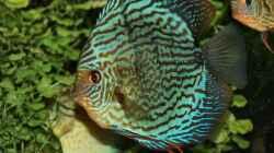 Besatz im Aquarium Amazonas  nur noch Beispiel
