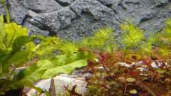 Limnophila aquatica und Ludwigia palustris