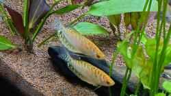 Goldener Fadenfisch Paar