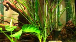 Meine schönste Pflanze, Krause/Schmalblättrige Crinum, Hakenlilie (Crinum calamistratum)