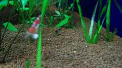 Bienen Garnele
