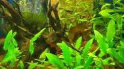 Pflanzen im Aquarium Indonesischer Bach