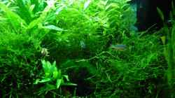 Besatz im Aquarium Garnelenbecken mit Perlhuhnbärblingen