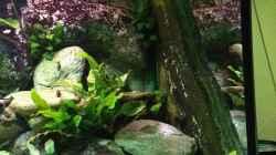 Pflanzen im Aquarium Tanganjika zu Hause