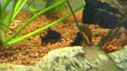 2 Corydoras anaeus `black` - Venezuela - bei der Rast unter einem Blatt der Echinodorus