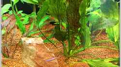 Pflanzen im Aquarium Notriopis Chrosomus nur noch als Beispiel