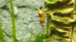 Besatz im Aquarium Crystal Red