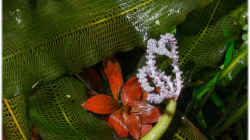 Gitterpflanze mit Blüte