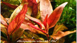 Alternanthera reineckii `Lila`