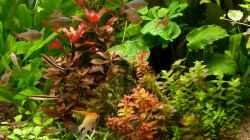 Pflanzen im Aquarium Farbträume