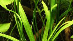 Pflanzen im Aquarium Green