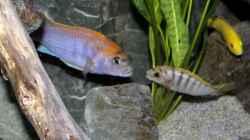 Labidochromis sp. Hongi auch das kleine Männchen lässt sich nichts gefallen