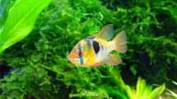 Besatz im Aquarium Becken mit Mikrogeophagus ramirezi