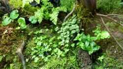 Pflanzen im Aquarium 375l Riparium
