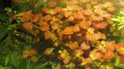 Pflanzen im Aquarium mysteryland