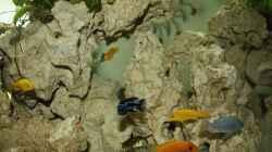 Besatz im Aquarium Schwichtis Mbuna Tank
