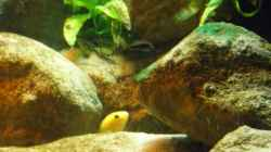 Besatz im Aquarium Yellowhome