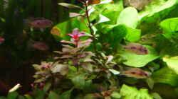 Pflanzen im Aquarium Gesellschaftsbecken Amazonas/Kongo