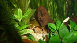 Besatz im Aquarium Gesellschaftsbecken Amazonas/Kongo