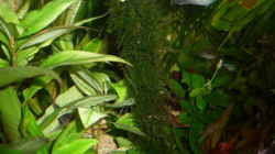 Dekoration im Aquarium Gesellschaftsbecken Amazonas/Kongo
