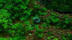 blaues Posthörnchen