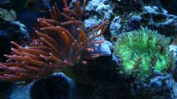 Kupferanemone-und-Wunderkoralle