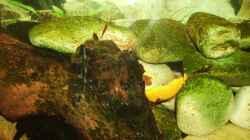 Besatz im Aquarium Sulawesitreff