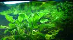 Pflanzen im Aquarium Tropic Dream