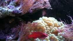Besatz im Aquarium Meerwasser