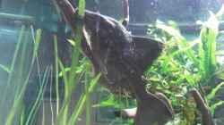 mein Prachtstück der Panaque