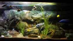 Aquarium Malawi rough shore (Nur noch als Beispiel)