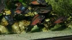 Besatz im Aquarium Moliro - Becken