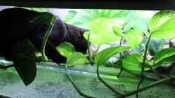 Auch eine Bengalkatze mag Wasser und Aquarien