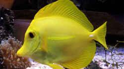 Zebrasoma flavescens /gelber Seebader
