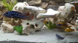 Nymbochromis Fusco